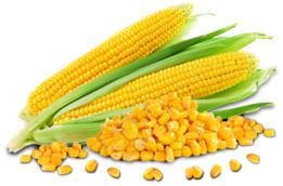 Cats and Dogs Eating Corn